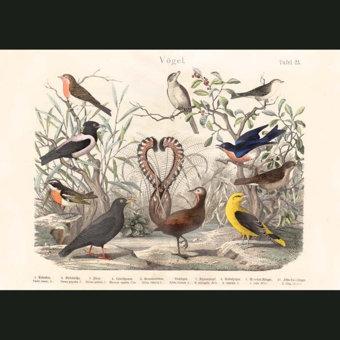 Fine art print for sale. Lyre Bird, Oriole & Warblers