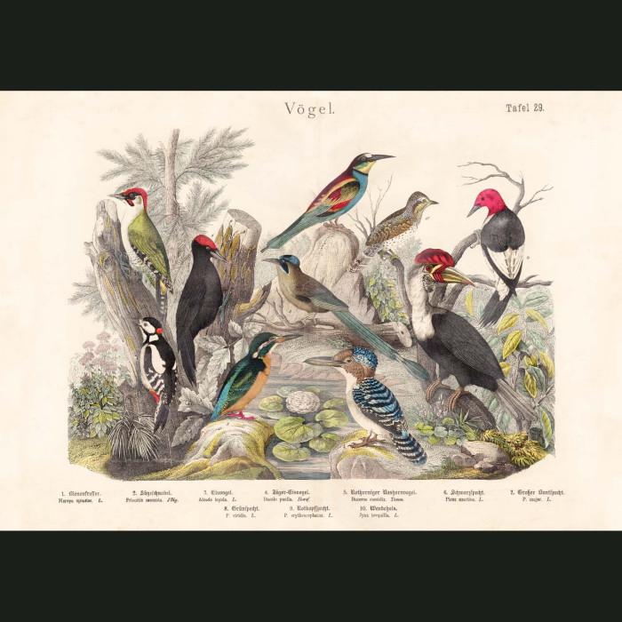 Fine art print for sale. Woodpeckers & Kingfishers
