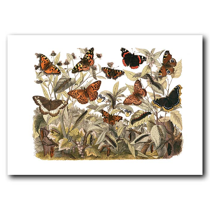 Fine art print for sale. Admiral & Tortoiseshell Butterflies