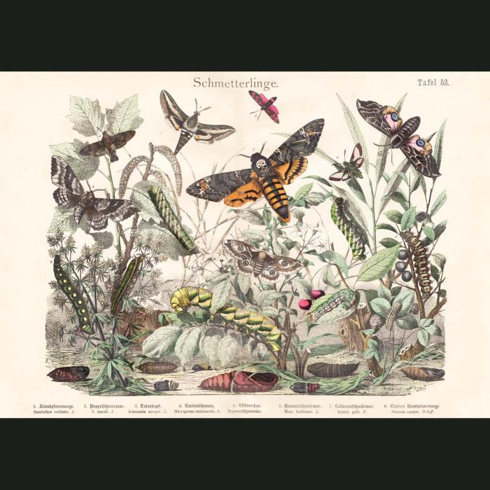 Fine art print for sale. Hawk-Wing Moths