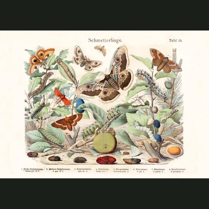 Fine art print for sale. Emperor, Silkworm & Lappet Moths