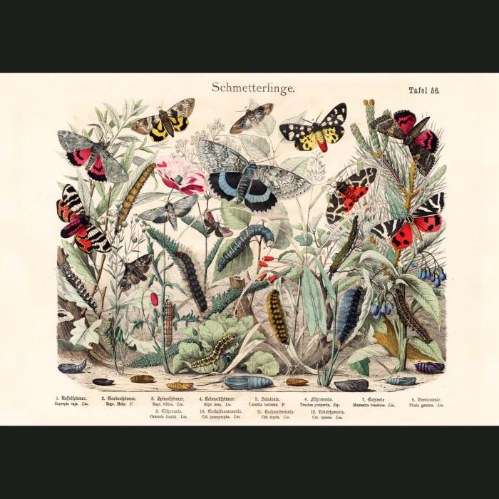 Fine art print for sale. Owlet Moths & Caterpillars