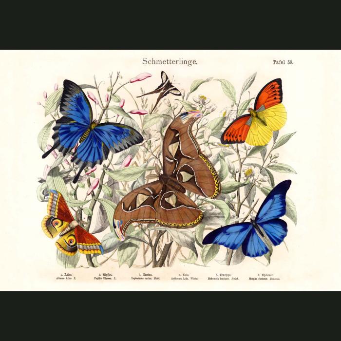 Fine art print for sale. Swallow-Tail & Ulysses Butterflies