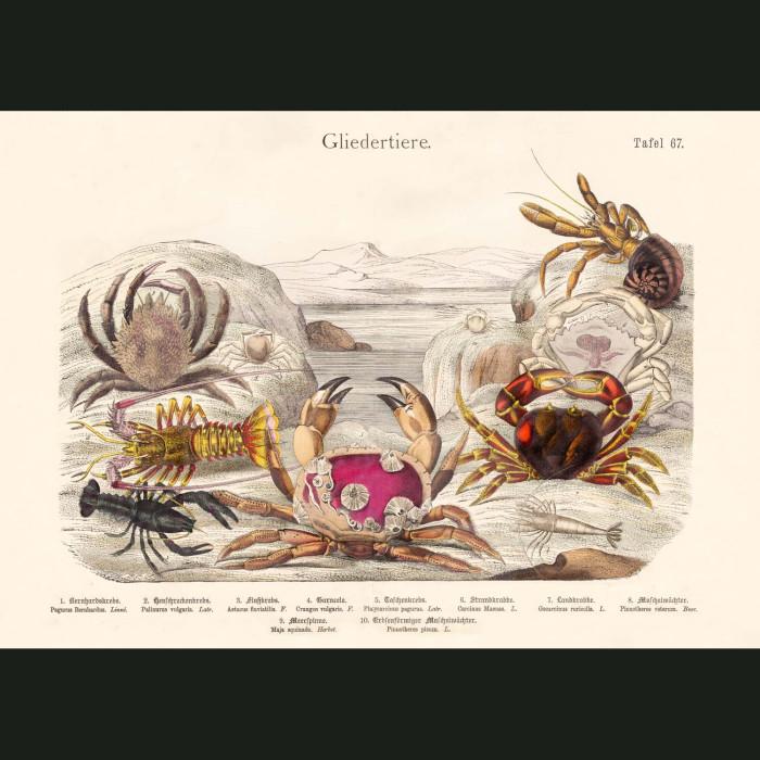 Fine art print for sale. Lobster & Crabs