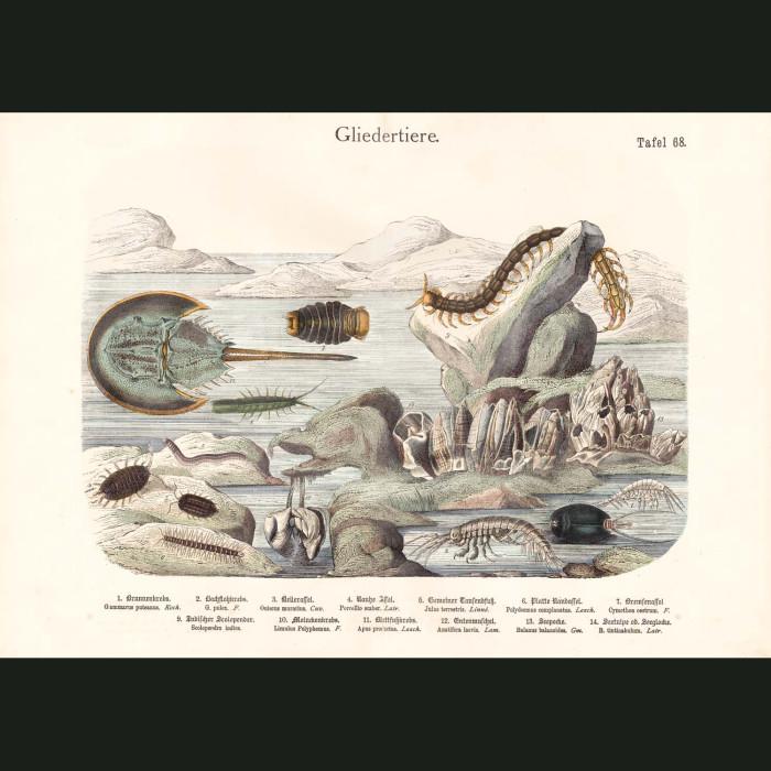 Fine art print for sale. Horseshoe Crab, Barnacles & Shrimp