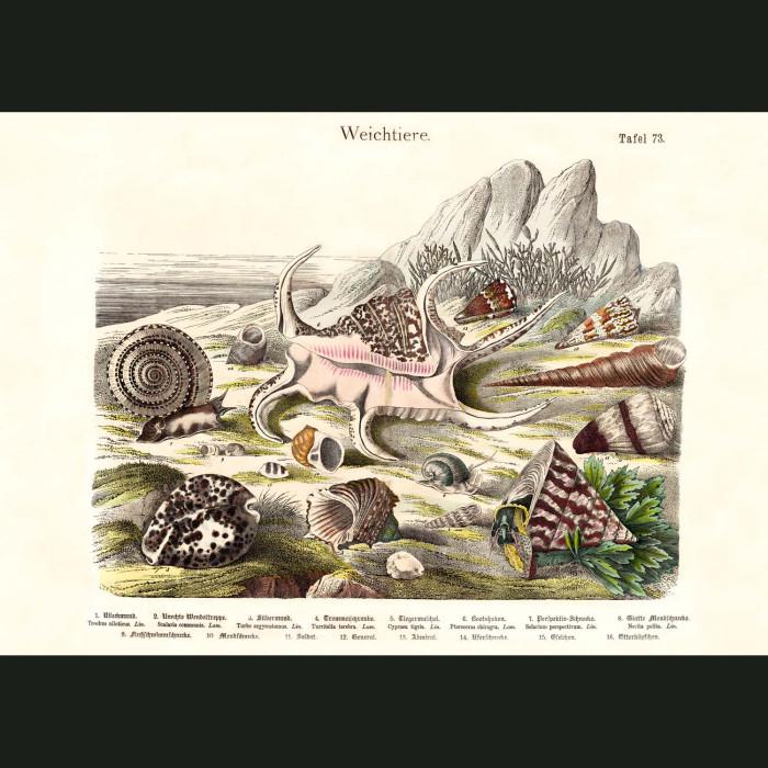 Fine art print for sale. Tropical Cone Shells