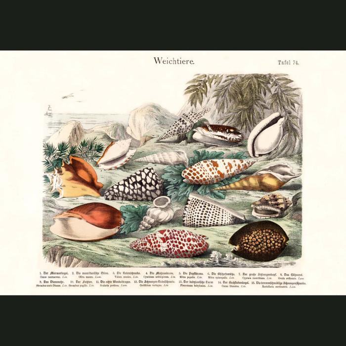 Fine art print for sale. Cowrie & Cone Shells