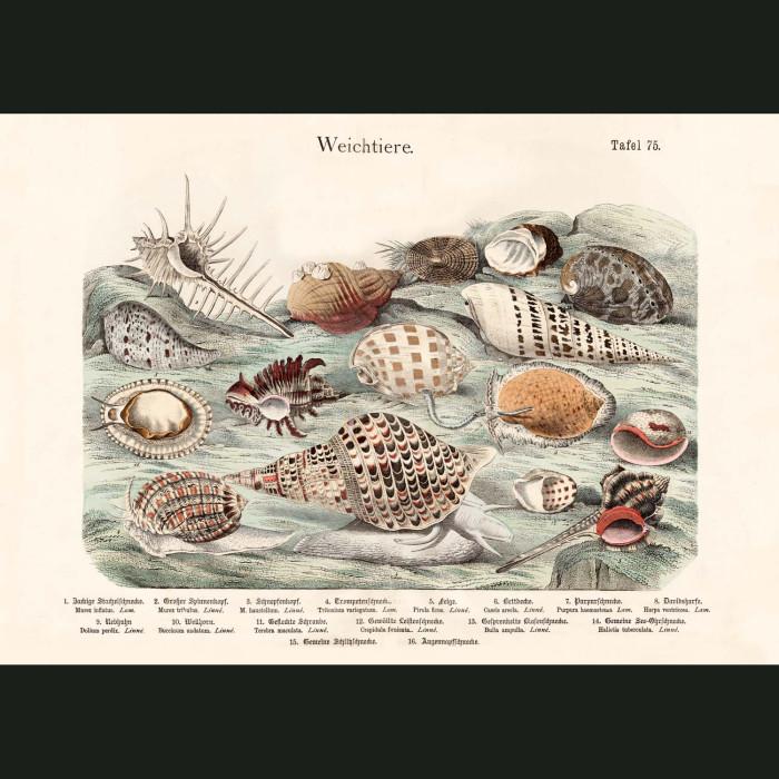 Fine art print for sale. Tropical Cone & Murex Shells