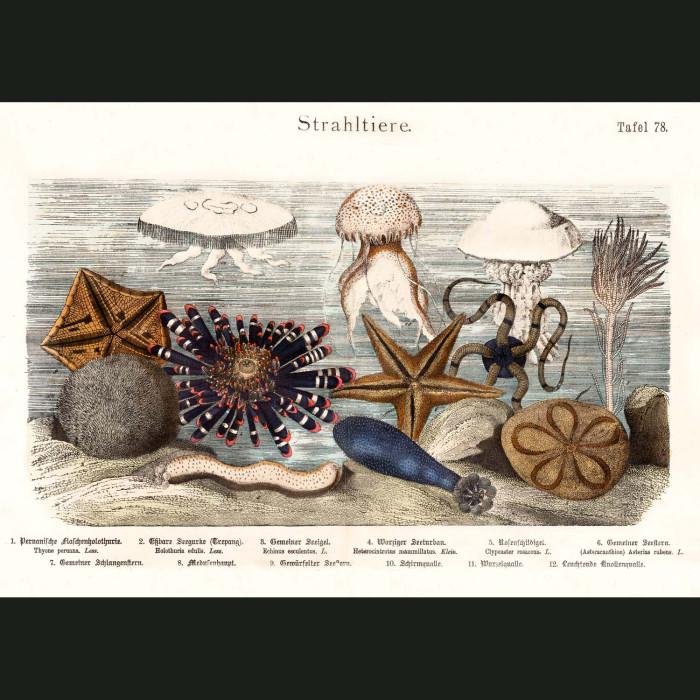 Fine art print for sale. Starfish, Sea Urchins & Jellyfish