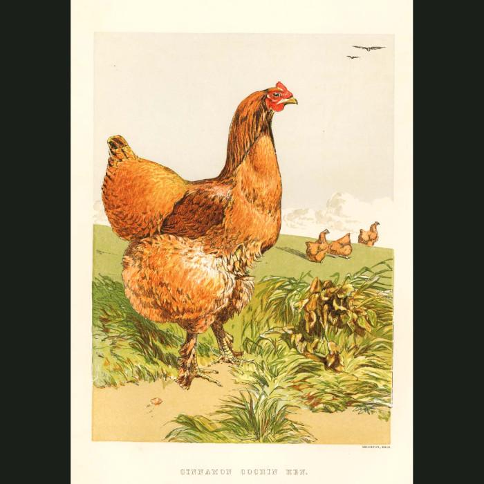 Fine art print for sale. Cinnamon Cochin Hen