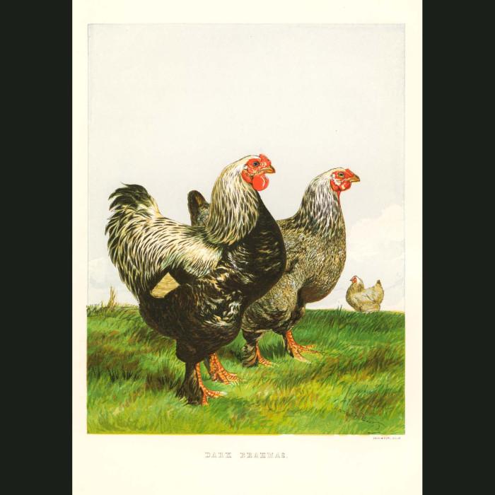 Fine art print for sale. Dark Brahmas