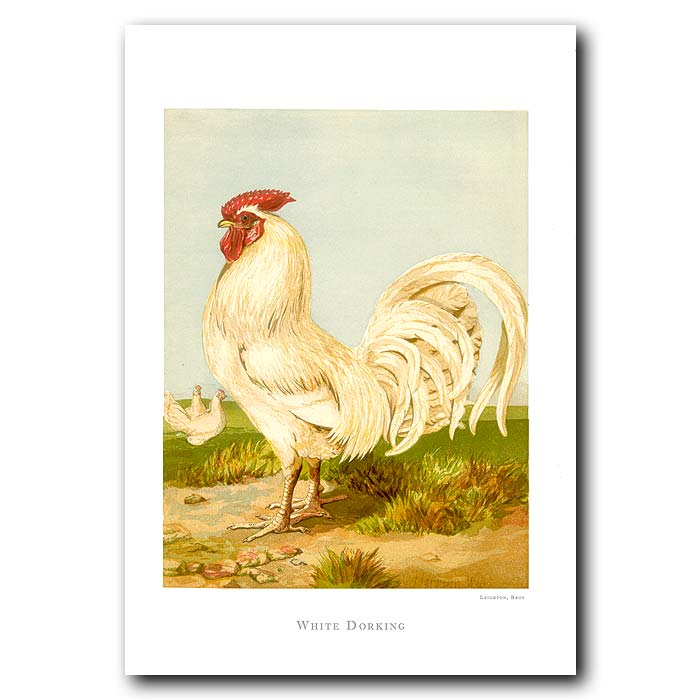 Fine art print for sale. White Dorking Rooster