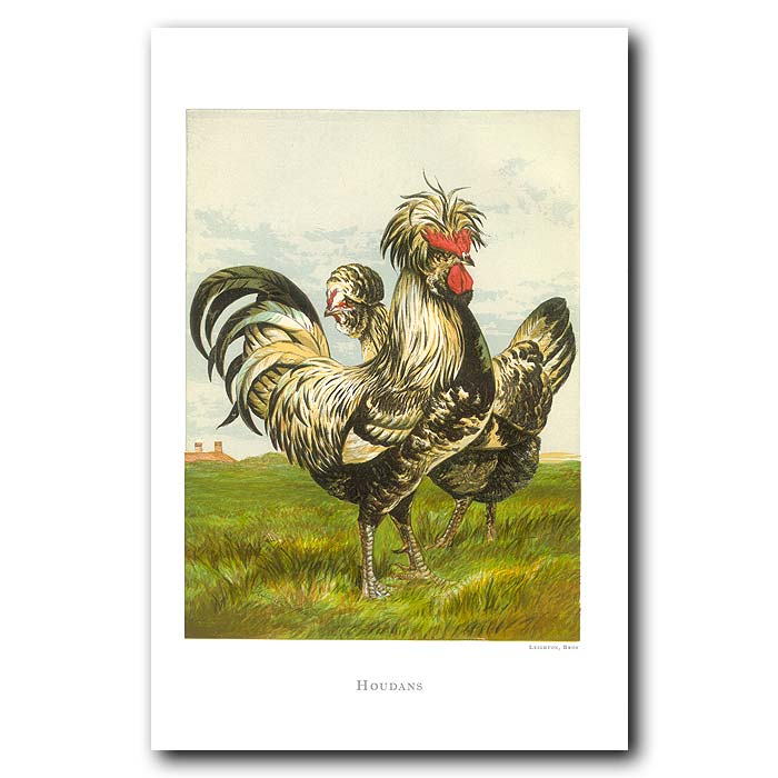 Fine art print for sale. White And Game Bantams