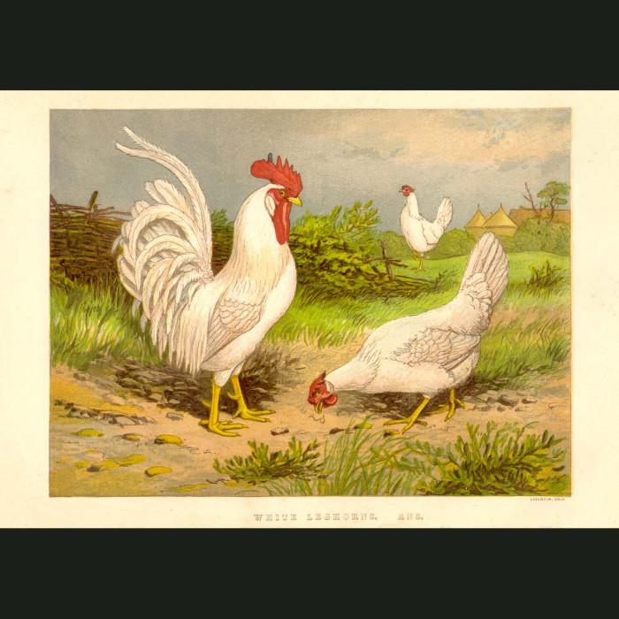 Fine art print for sale. White Leghorn Chickens