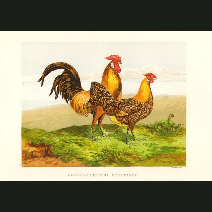 Fine art print for sale. Golden Pencilled Hamburghs