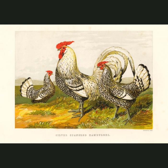 Fine art print for sale. Silver Spangled Hamburgh Chickens