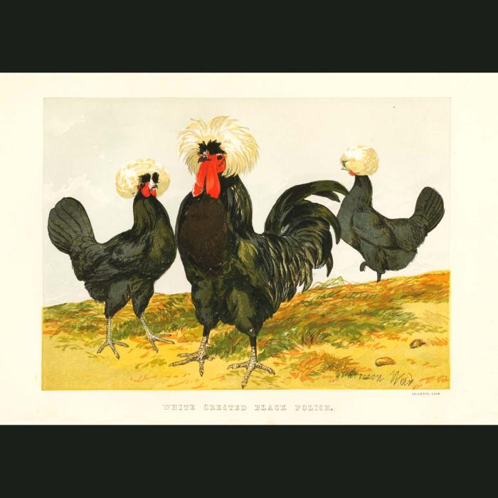 Fine art print for sale. White Crested Black Polish Chickens