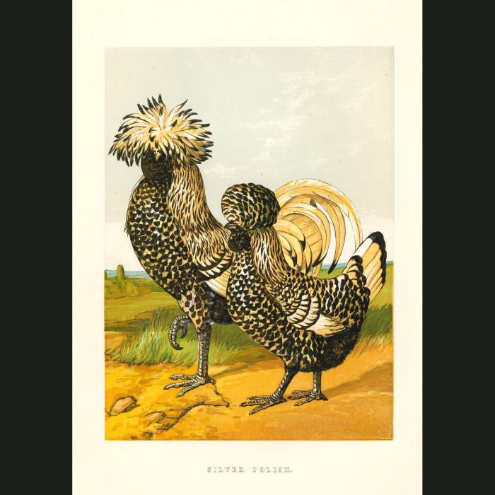 Fine art print for sale. Silver Polish Chickens