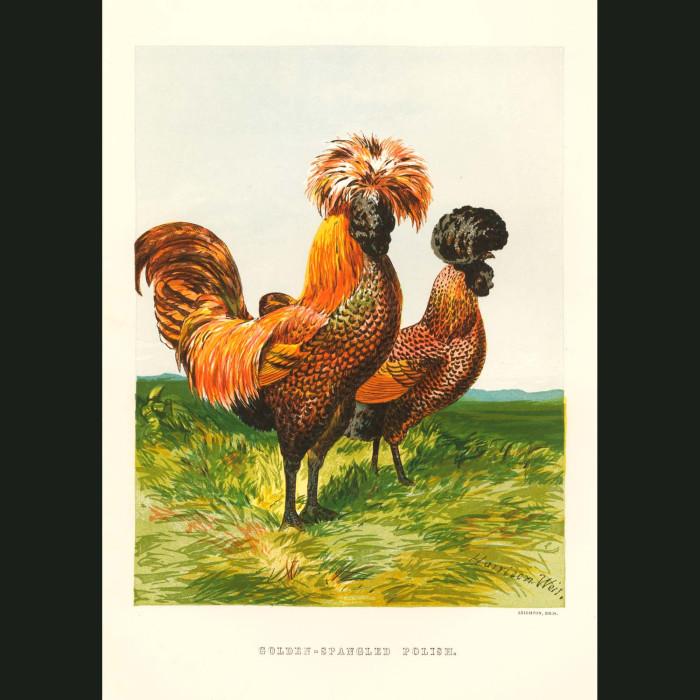 Fine art print for sale. Golden Spangled Polish Chickens