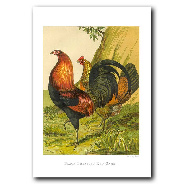 Fine art print for sale. Red Game Rooster And Hen