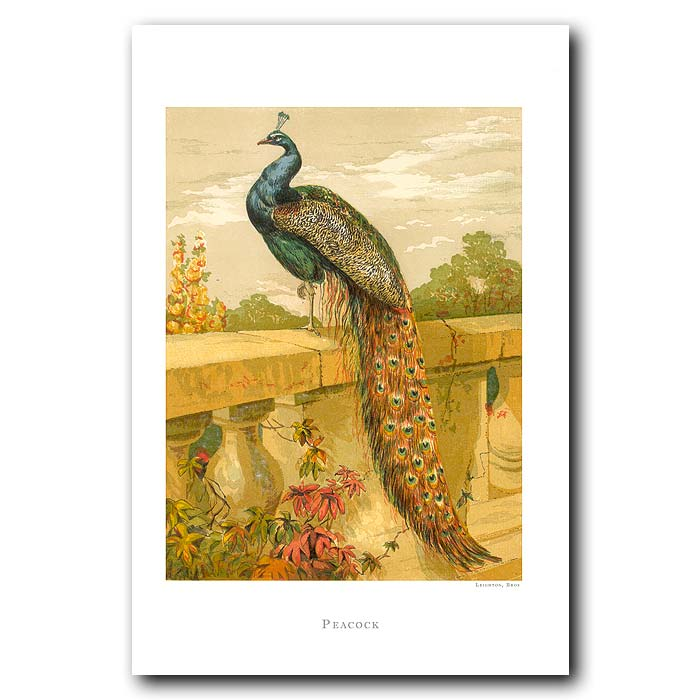 Fine art print for sale. Peacock