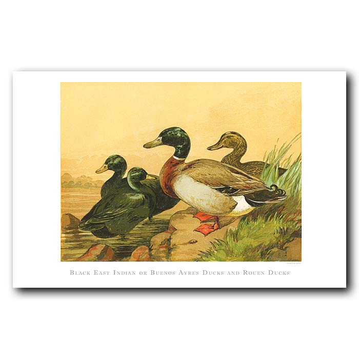 Fine art print for sale. Buenos Aires And Rouen Ducks