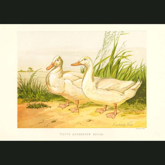 Fine art print for sale. White Aylesbury Ducks