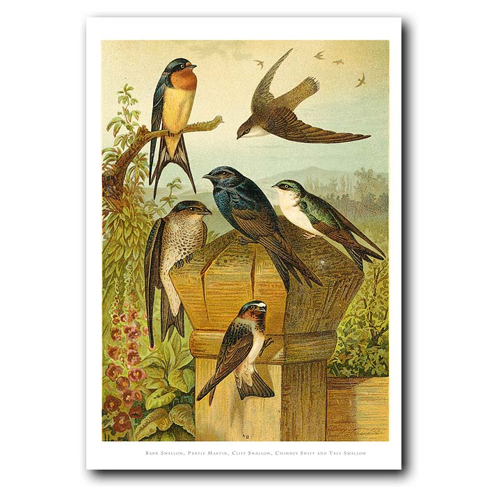 Fine art print for sale. Swallows & Swifts