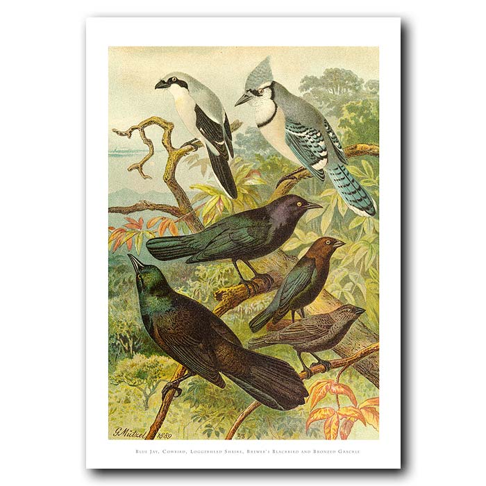 Fine art print for sale. Blue Jay & Blackbird