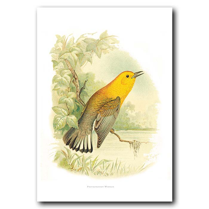 Fine art print for sale. Prothonotary Warbler