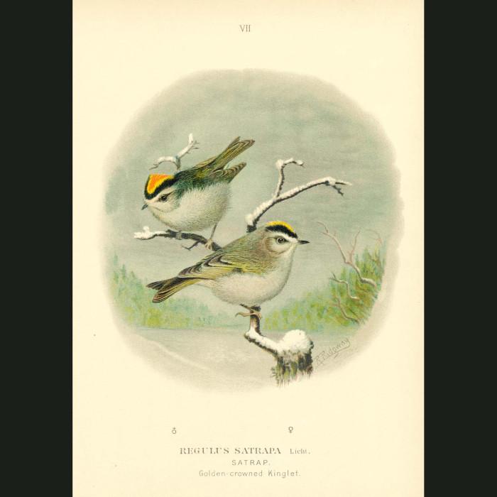 Fine art print for sale. Golden-Crowned Kinglet
