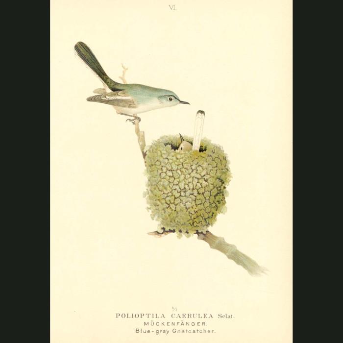 Fine art print for sale. Blue-Grey Gnatcatcher