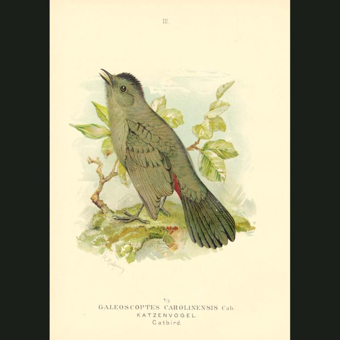 Fine art print for sale. Gray Catbird