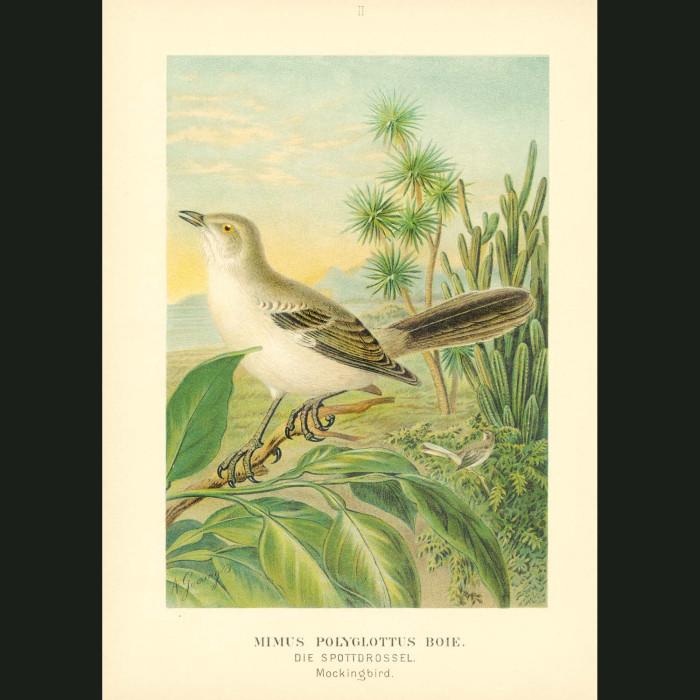 Fine art print for sale. Mockingbird