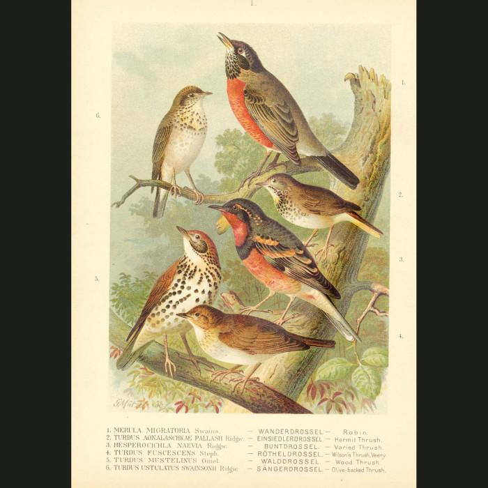 Fine art print for sale. Robin & Thrushes