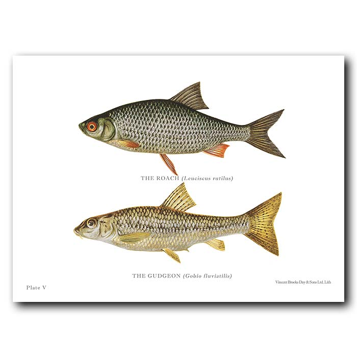 Fine art print for sale. Roach And Gudgeon Fish