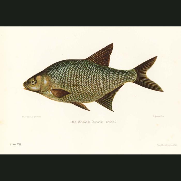 Fine art print for sale. Bream Fish