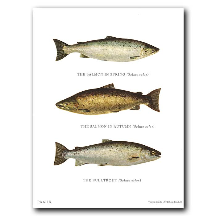 Fine art print for sale. Salmon And Bull Trout
