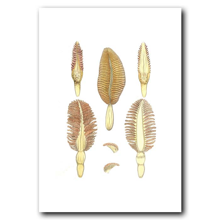 Fine art print for sale. Feather Stars (Plate Iii)