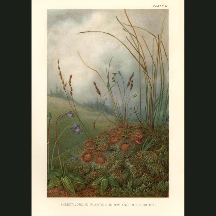 Fine art print for sale. Carnivorous Sundew & Butterwort Plants