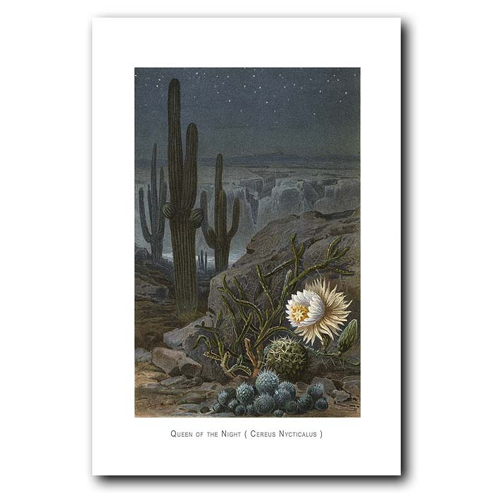 Fine art print for sale. Queen Of The Night Cacti. Cereus Nycticalus