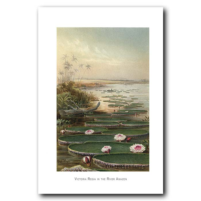 Fine art print for sale. Victoria Regia Water Lilies On The Amazon