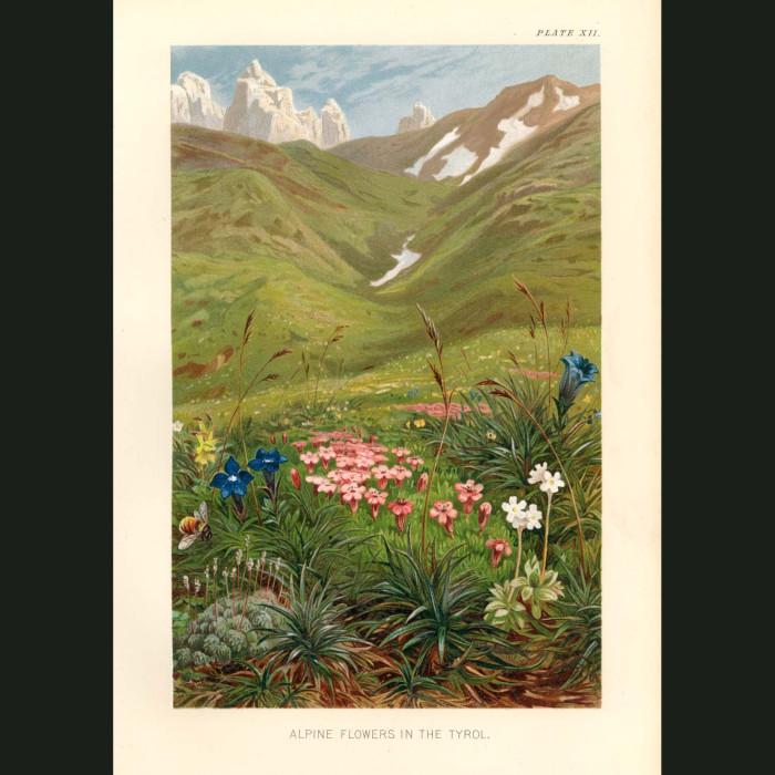 Fine art print for sale. Alpine Flowers In The Tyrol