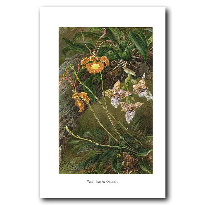 Fine art print for sale. West Indian Orchids. Oncidium Papilio, And Stanhope Devoniensis