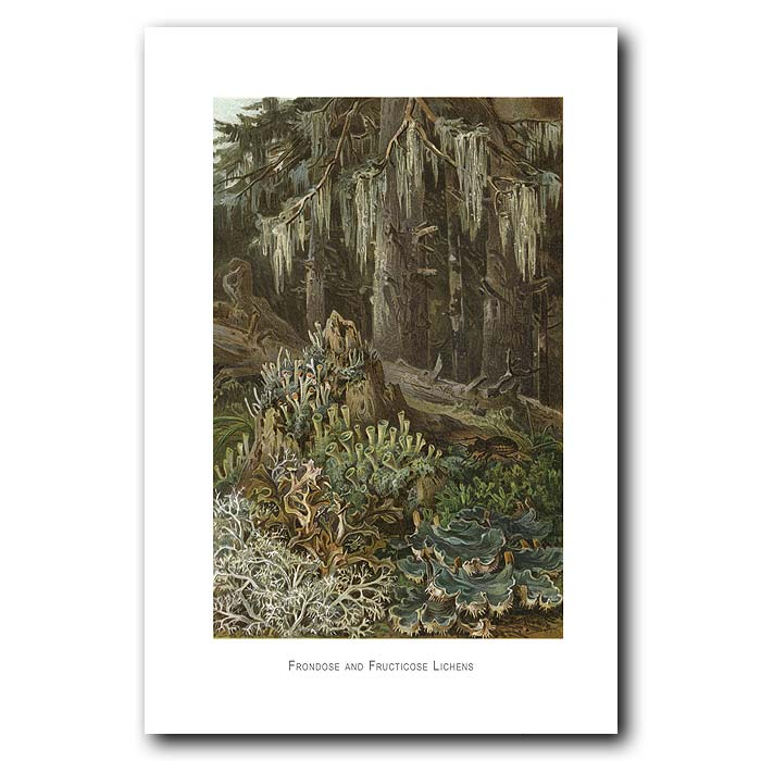 Fine art print for sale. Old Man's Beard Lichen In The Trees