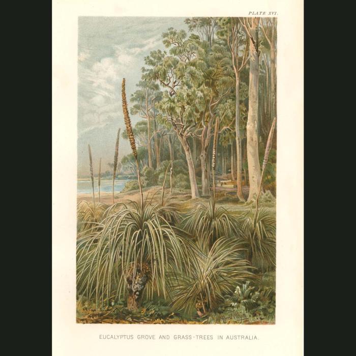 Fine art print for sale. Eucalyptus Grove & Grass Trees. Ecualyptus Amydalina, Xanthorrhea Hostilis