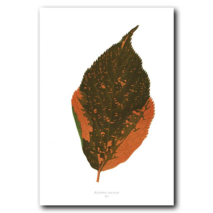 Fine art print for sale. Three Colored Acalypha. Acalypha Tricolor