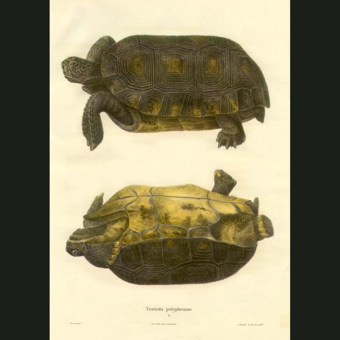 Fine art print for sale. Box Tortoise (Testudo Polyphemus)