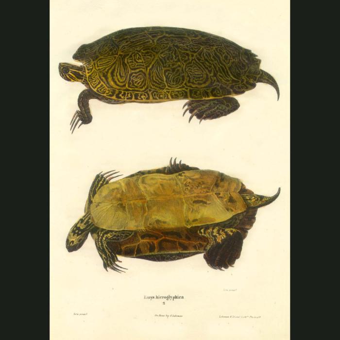 Fine art print for sale. Heiroglyphic Turtle (Emys Hieroglyphica)