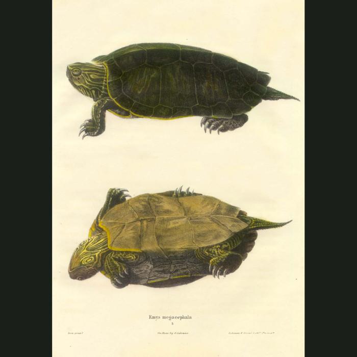 Fine art print for sale. River Turtle (Emys Megacephala)